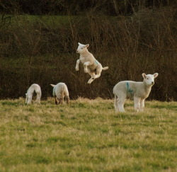 floramayyy:  Took this of the gorgeous lambs playing by my house.