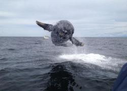 Humpback whale breaching the waters from close to 10 feet away. Photo by Matt Thornton. Source.