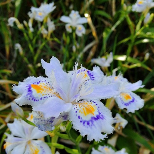 シャガ #fringediris #iris #roadside #flower #white #orange #blue #leaf #green #japan
