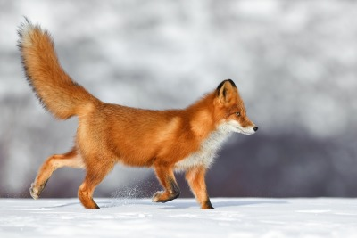 llbwwb:  Fox by Sergei Gorshkov