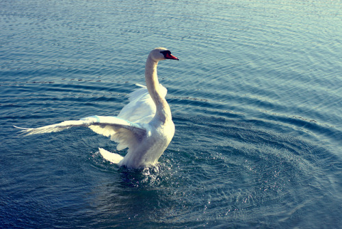 saivo-neita:  White swan on lake by serzhile on Flickr.
