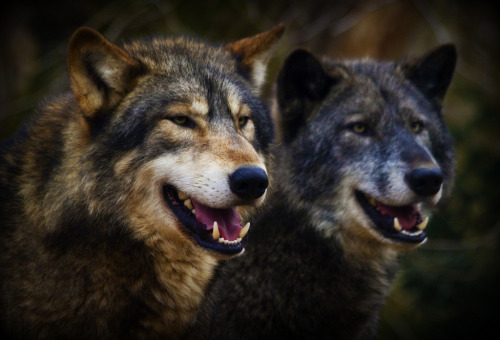 Me & My Shadow !  …  Wolf Pair - Colchester Zoo (by wendysalisbury)