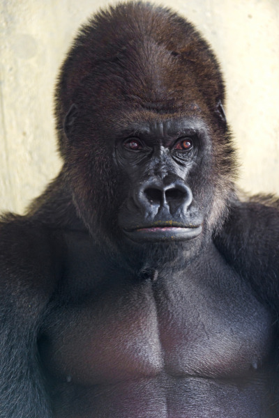 Serious gorilla (by Tambako the Jaguar)