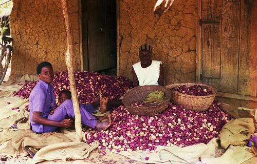 Men in Sierra Leone sorting kola nuts, a bitter tasting caffeine-containing fruit found on the cola trees of West Africa. Kola nuts have various uses in many different West African societies, ranging from ceremonial offerings to healing practices. In 1800s, American pharmacist John Pemberton introduced them to the Western world by combining kola nuts with sugar, carbonated water and other ingredients to make the first cola soft drink in the West. Coca-Cola no longer uses kola nuts in its recipe. Photo by bruce_geisert on Flickr.