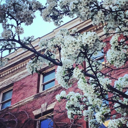 youreatthecopacabana:  I love spring #cuse #pretty #flowers  Beautiful photo!