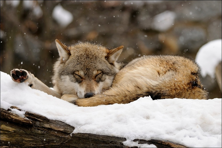 wolveswolves:  Wolf in the snow at AlpenZOO Innsbruck, Austria Picture by Svenimal
