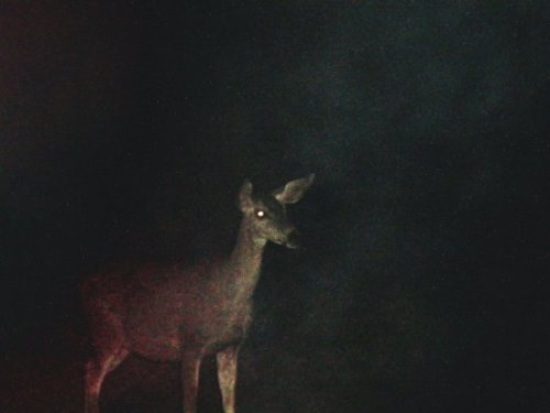 night deer *