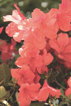 giulyhasaposse:  Red azaleas in my garden.