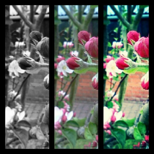 #Flower #Blosom #Pink #BlackandWhite #Contrast #Enhance #EasyCollage #Garden #Pretty #DepthofFocus #Focus #CloseUp