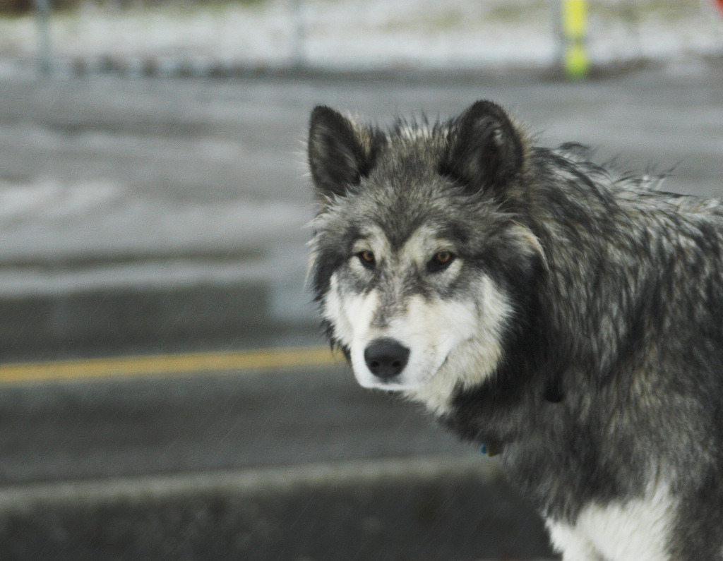 brutalgeneration:  Wolf Dog (by Airchinapilot)