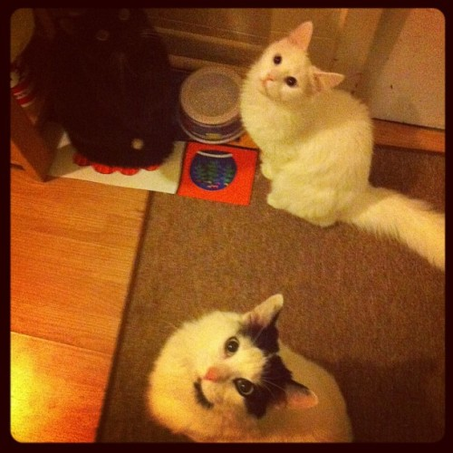 kitties are hungry. so cute. 😻