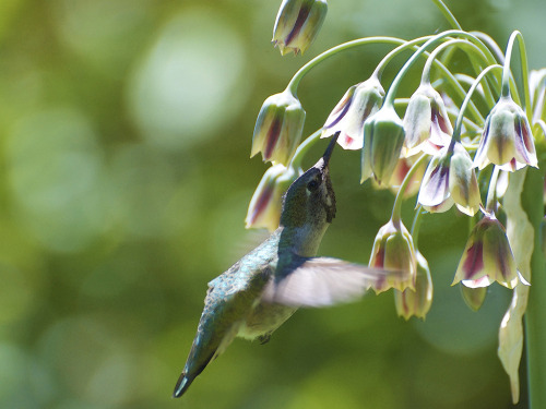 isaac-lonetree:  Oregon Hummingbird (by russell.tomlin)