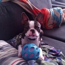 So tired but wants to play. #bostonterrier