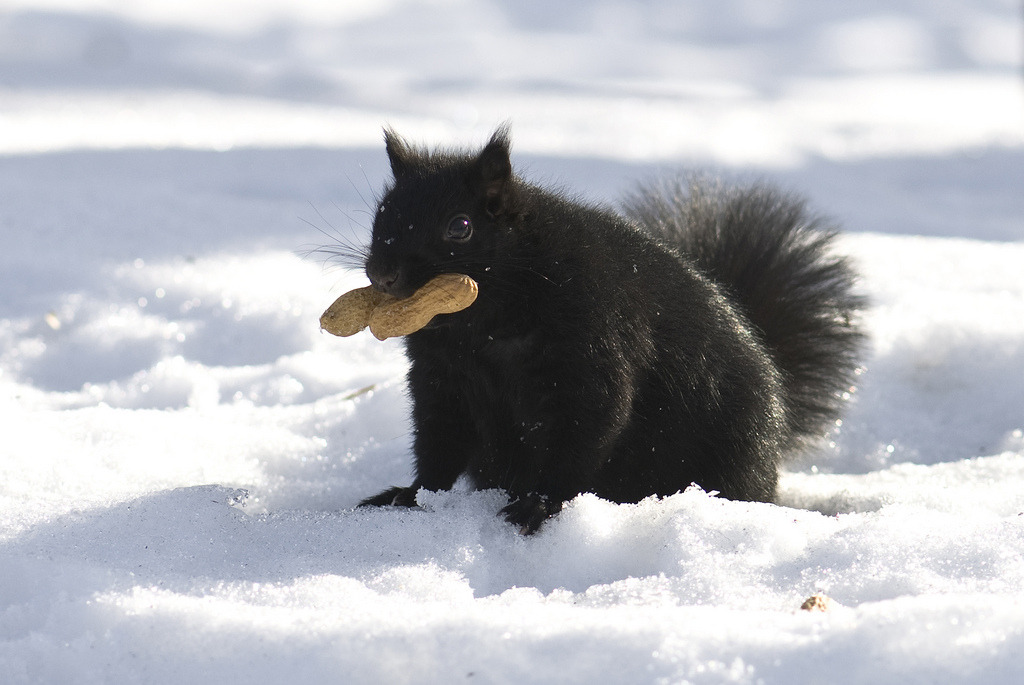 God damn, I love a black squirrel thefluffingtonpost:  PHOTO OP: Peanut Thief Via madlyinlovewithlife.