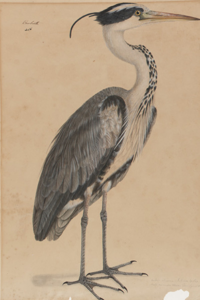 mucholderthen:  Grey Heron19th century IndiaWatercolor on paper For the British men and women who went to India, the study of natural history was both scientific inquiry and fashionable pastime. They trained local artists, often skilled court painters seeking new patronage, to record the country's flora and fauna with scientific precision. (South Asian Art)