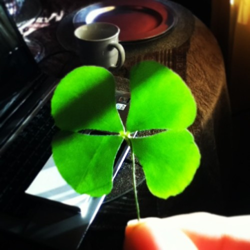 metal-guitars:  Omg a lucky clover! I hope it works! #clover #lucky  Now I could be wrong, but that looks like it's of the marsilea genus….Where was this obtained…?