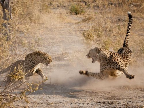 sheerdarwinism:  A male cheetah (Acinonyx jubatus) defends his kill against a female leopard (Panthera pardus). Such showdowns are rare as leopards are higher on the food hierarchy, but this cheetah had not eaten in a few days and was prepared to fight. Ultimately, the leopard won. Photo credit: Jamie Hopf
