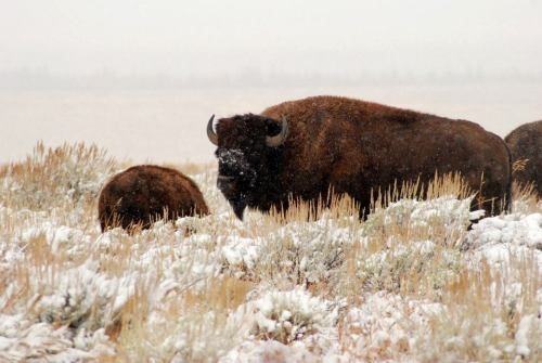 How do bison survive the snowy Jackson Hole winters? Well, having a big head helps! Bison can use their heads as a snowplow in winter, swinging it from side to side to sweep aside the snow on the ground. Photo: National Park Service