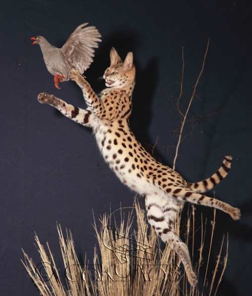 felis-serval:  Some awesome taxidermy by this cool Russian guy.