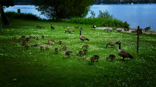 Canadian geese with lots of little babies.