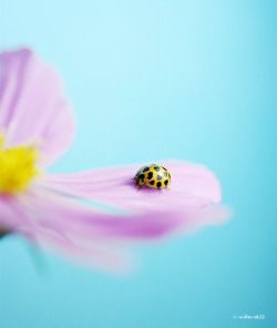 Common Spotted Ladybug by ~nikovoyages