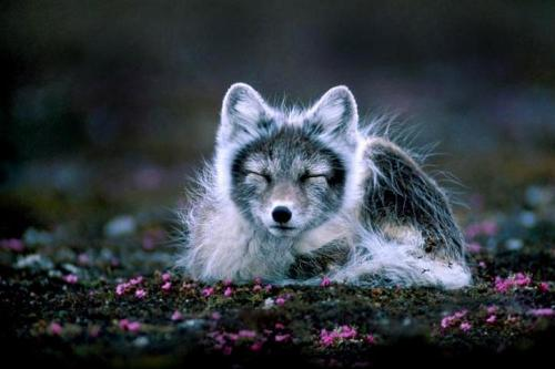 Arctic Fox by Crush.