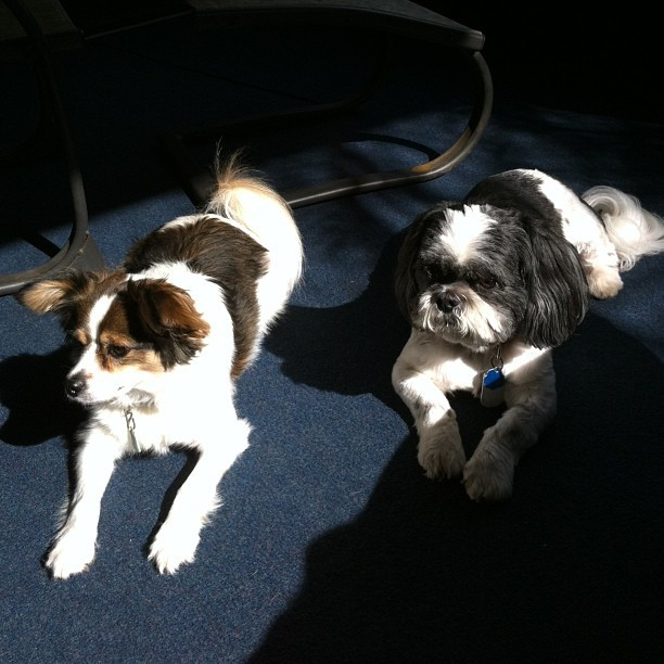 #archerthedog and #maxthemighty enjoying some #morningsun (-'] #rockfile #papillon #shihtzu