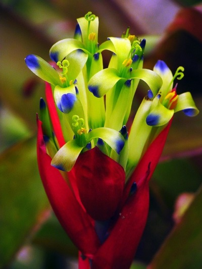simply-beautiful-world:  Bromeliad