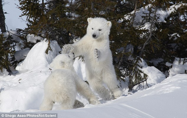 Young polar bears play fighting by Shogo Asao