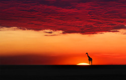 magicalnaturetour:  Giraffe in sunset harmony by Moro