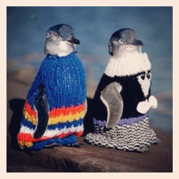 "dearfabel:  ""The Penguin Jumpers Project has now finished. Over 15,000 jumpers were collected, which will be stored in Oil Spill Response Kits around Tasmania. In the case of a major oil spill, these jumpers will be used to help rehabilitate Little penguins (Eudyptula minor) that have been oil affected. Oil clogs the feathers of these tiny seagoing birds, and reduces their insulating and waterproofing qualities. Even worse, the penguins attempt to clean themselves by preening, and rapidly become poisoned."" and life makes sense again."