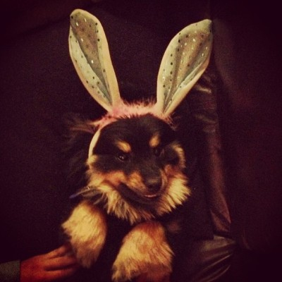 Happy Easter from #kurtisthedog. @jenna_kasssss @robertchavers #dogstagram #bunny #lawlz