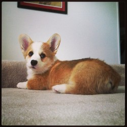 My love of my life . #corgi #cutepuppy