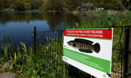 One Man's Search for the Elusive Snakehead Fish in Central Park