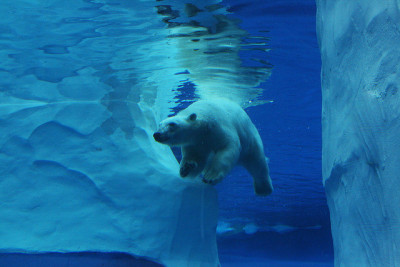 marinemammalblog:  Urso Polar nadando - Polar bear swimming by Juliano Pavan on Flickr.