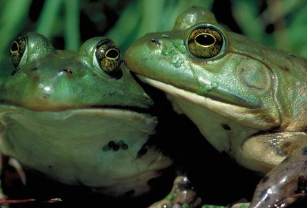 More than a century ago, American bullfrogs (Rana catesbeiana), originally from the eastern and central United States, were introduced into the American West in hopes that they could be farmed for food. Although the farming efforts failed, the bullfrog adapted to man-made ponds and waterways and is now a threat to native species of fish, snakes, birds, and other frogs—some of them endangered. See an American bullfrog in Frogs: A Chorus of Colors.