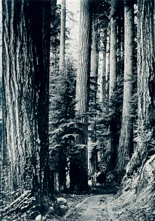 Road Among the Douglas Firs. 1912 photo by Asahel Curtis