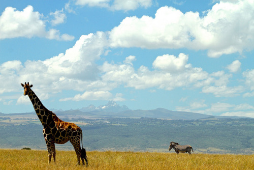 Giraffe, Zebra and Mlount Kenya by Elliott Balbert on Flickr.