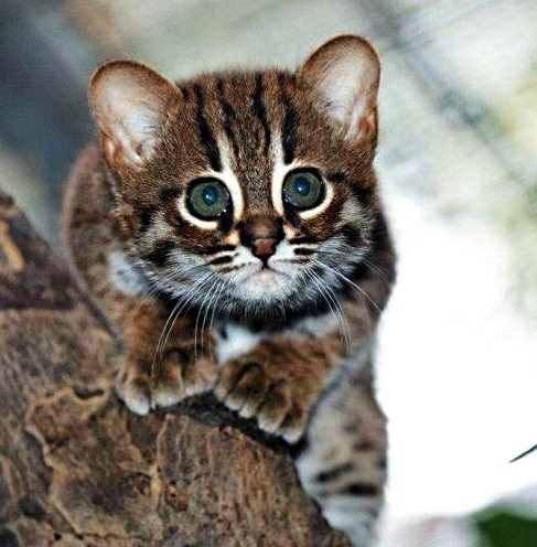 stephrobison:  so cute, rusty spotted cat