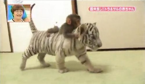 animals-riding-animals:  monkey riding tiger cub