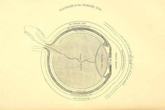 scientificillustration:  Diagram of the Horse's eye by BioDivLibrary on Flickr. Rural life described and illustrated, in the management of horses, dogs, cattle, sheep, pigs, poultry, etc. etc. :.London ;London Printing and Pub. Co.[between 1868 and 1888].biodiversitylibrary.org/page/20715503