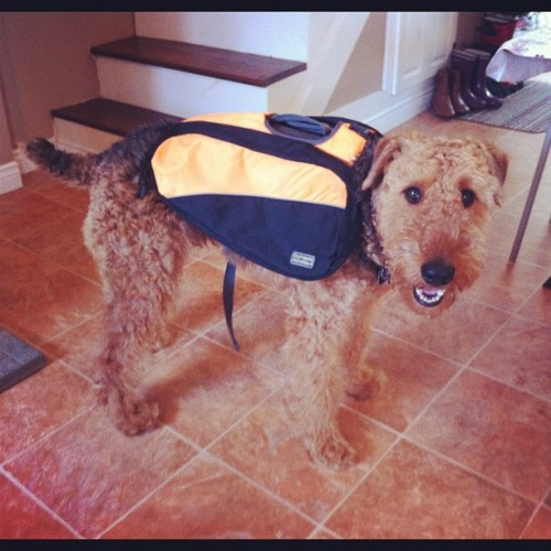 Woohooooooo new #dogpack !!!!! We took orange so it doubles as a safety vest ! He loves it ! #soproud #hiking #airedale #airedaleterrier