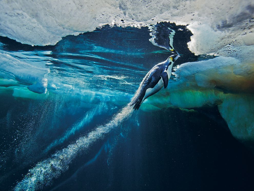 Emperor Penguin, Antarctica Photograph by Paul Nicklen, National GeographicPreparing to launch from the sea to the sea ice, an emperor penguin reaches maximum speed.  Download Wallpaper (1600 x 1200 pixels)