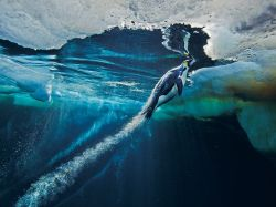 nationalgeographicdaily:  Emperor Penguin, AntarcticaPhoto: Paul Nicklen
