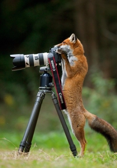 yuanzeng:  National Geographic Photographer of the Year: Mr. Tall Fox