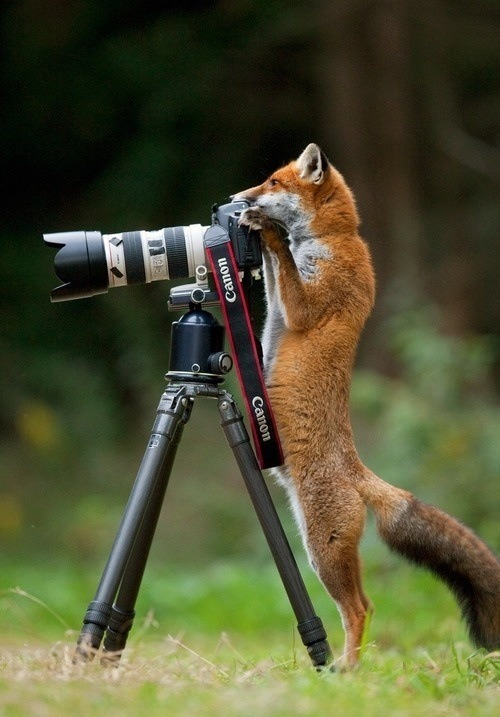 "yuanzeng:  National Geographic Photographer of the Year: Mr. Tall Fox   Say ""Cheese!"""