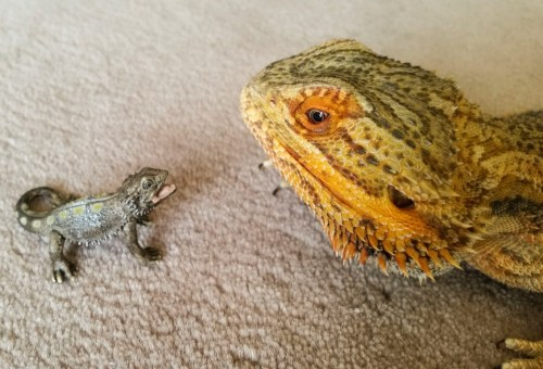 topclassbitchfromthefuture:  screaming screaming SCREAMING  That figurine looks like a real baby bearded dragon at first glance.