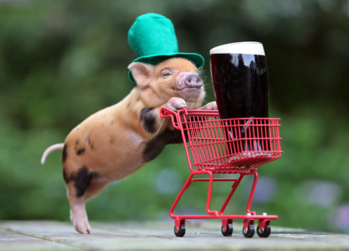 This pig is ready to get totally trashed on St. Patrick's Day