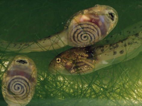 thatscienceguy:  carbonstuff:  Coiled intestines of tadpoles, seen through their transparent skin. They use it to digest plant matter. Oh, and of course, this was the inspiration for this, this and this. Image source here