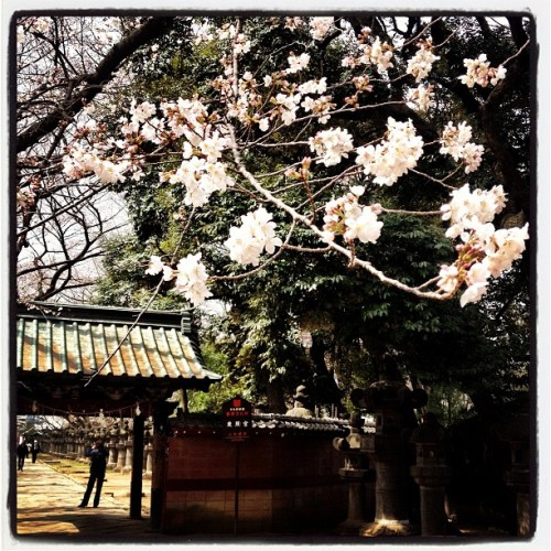 First Cherry Blossoms in Ueno Park 🌸#tokyo #travel @spg #spglife (at 上野恩賜公園)